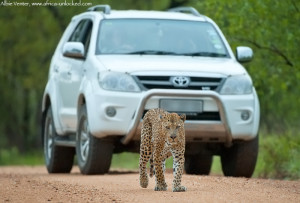 Leopard in front of car-