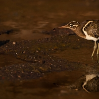 African Painted Snipe