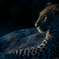 Side-lit leopard
