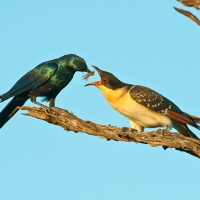 Greater spotted cuckoo and Meves's starling