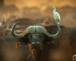 Buffalo and Cattle egret